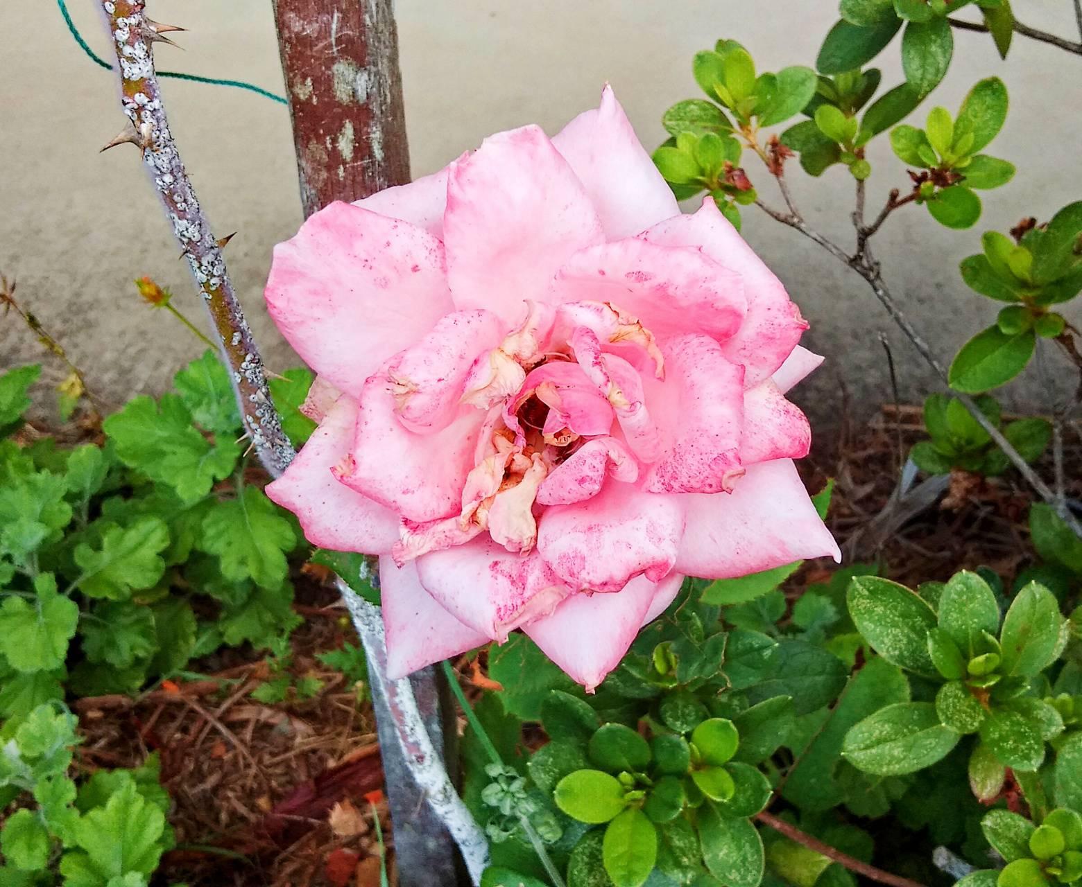 Pink Polkadot Rose