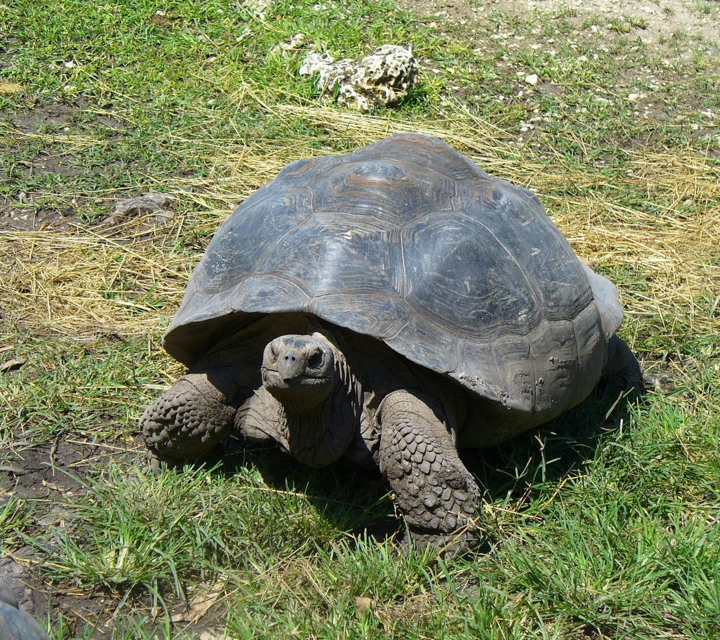 Galapago Tortoise