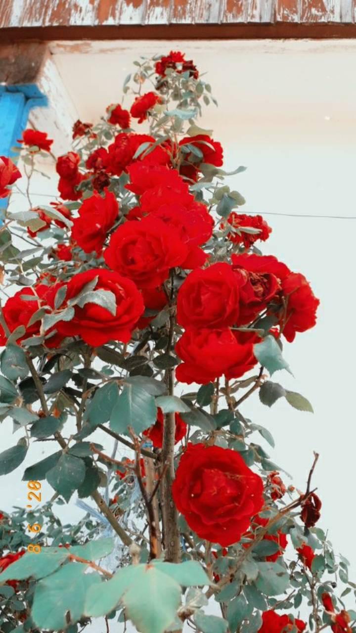 RosesbyAndreea