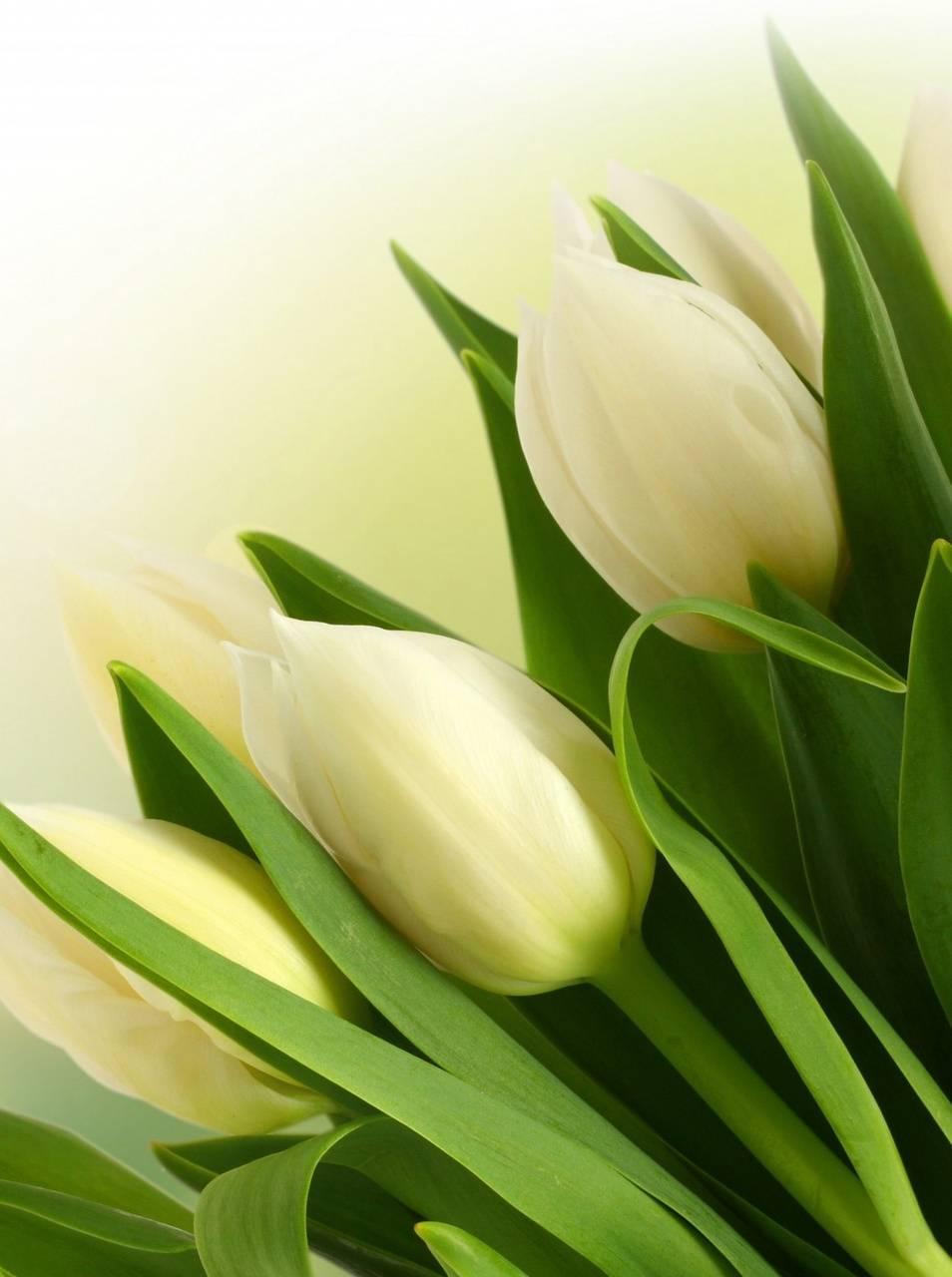 Best Tulips