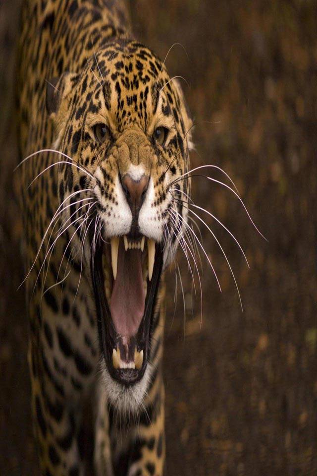 Jaguar wild