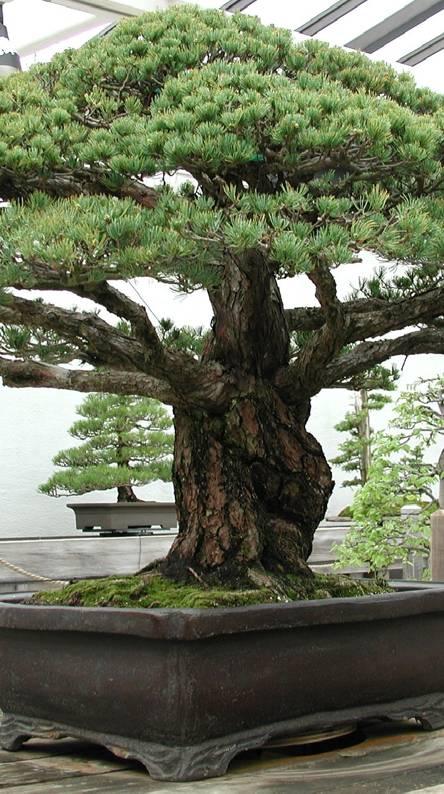 400 yr old Bonsai