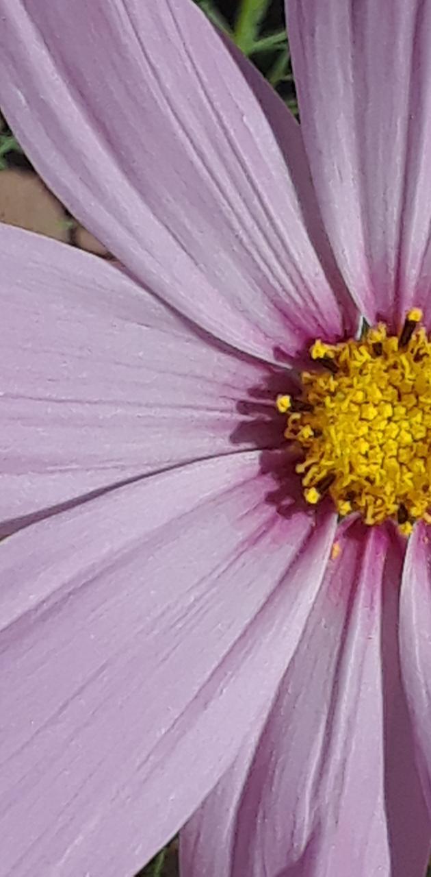 Purlule flowers