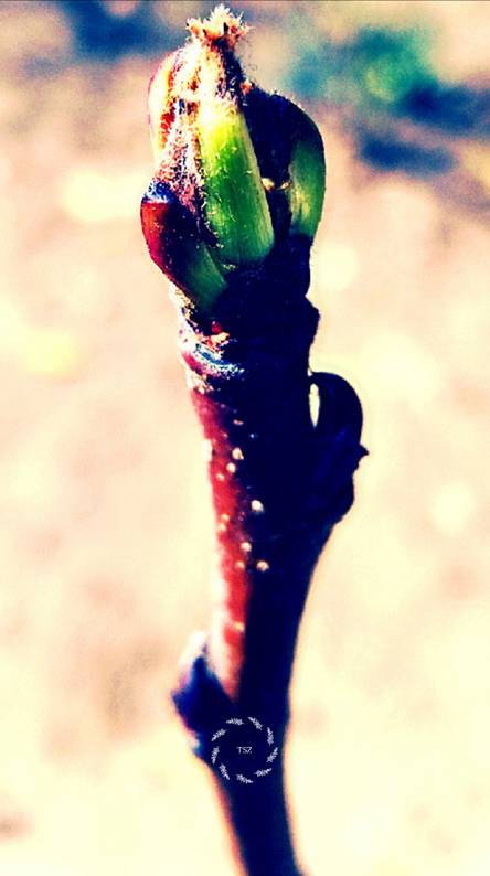 Flower bud TSZ