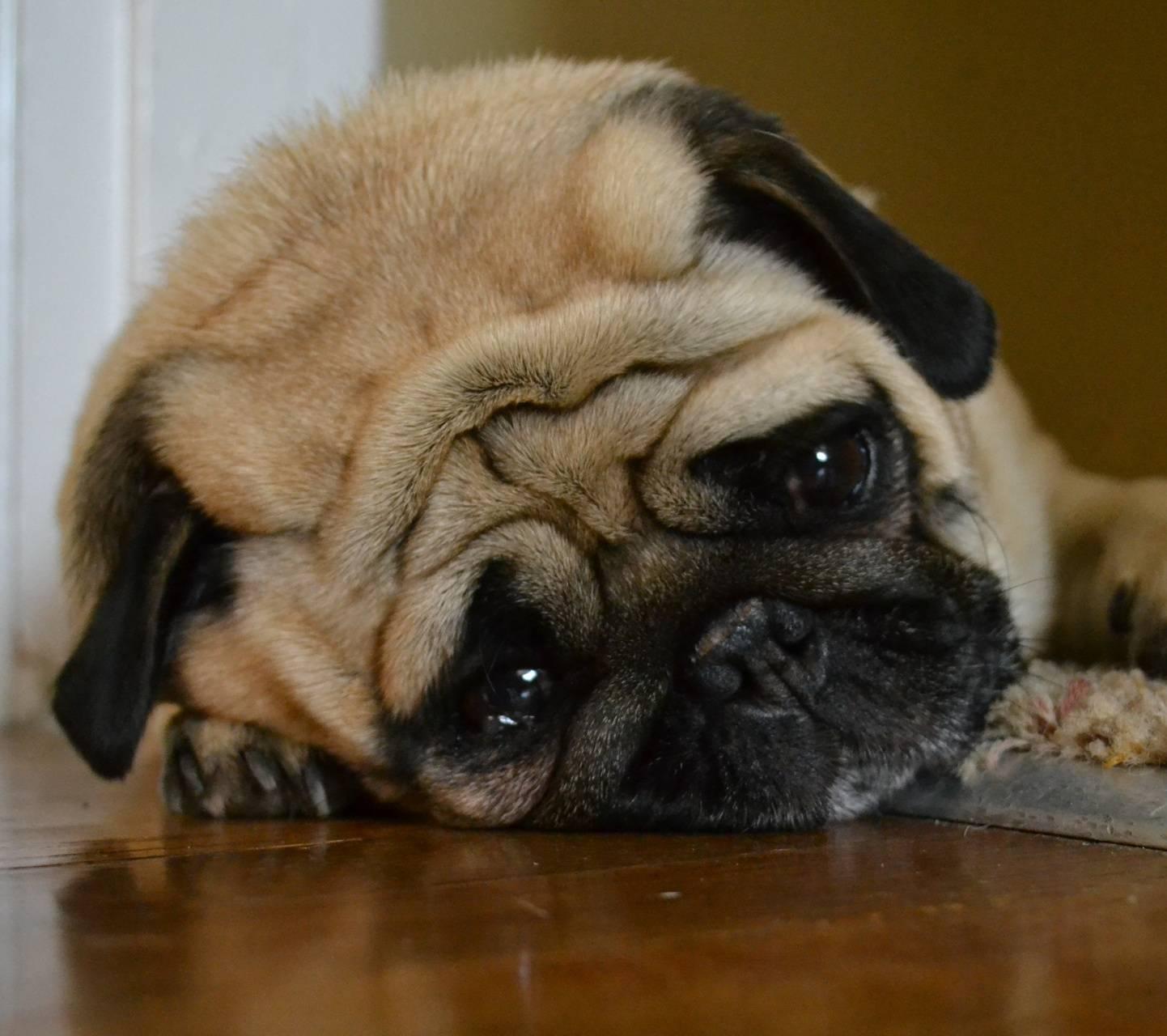 Annoyed Pug