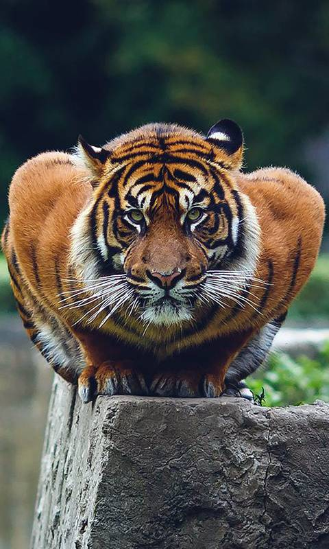 Tiger Attack Mode Wallpaper By Gontu 05 Free On Zedge