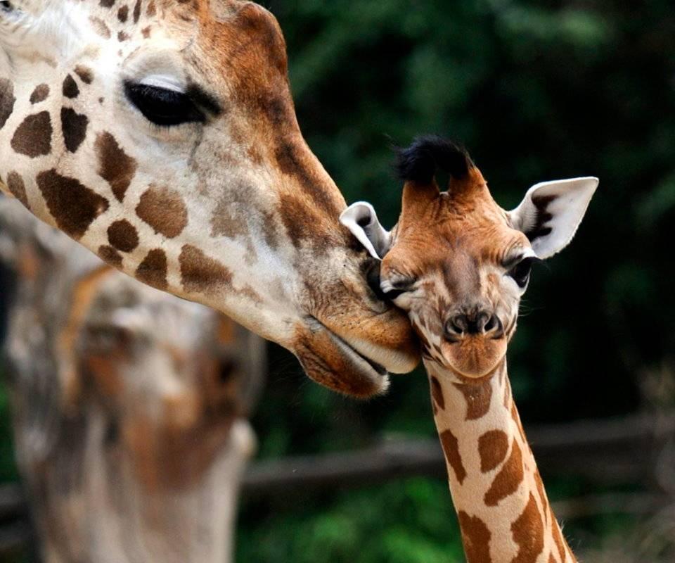 Baby Giraffe Calf
