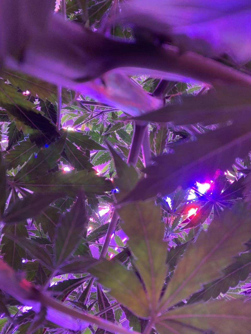 Cannabis Canopy