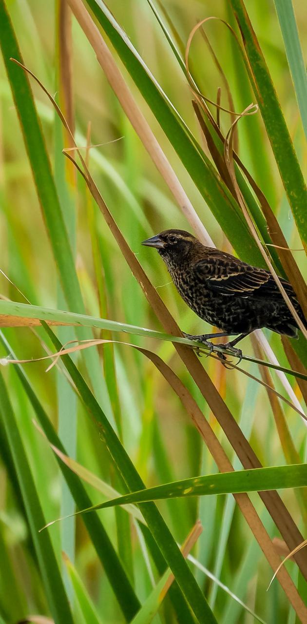 RedWingedBlackbird1