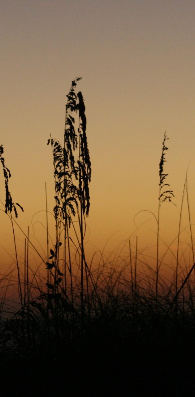 Sand Ferns