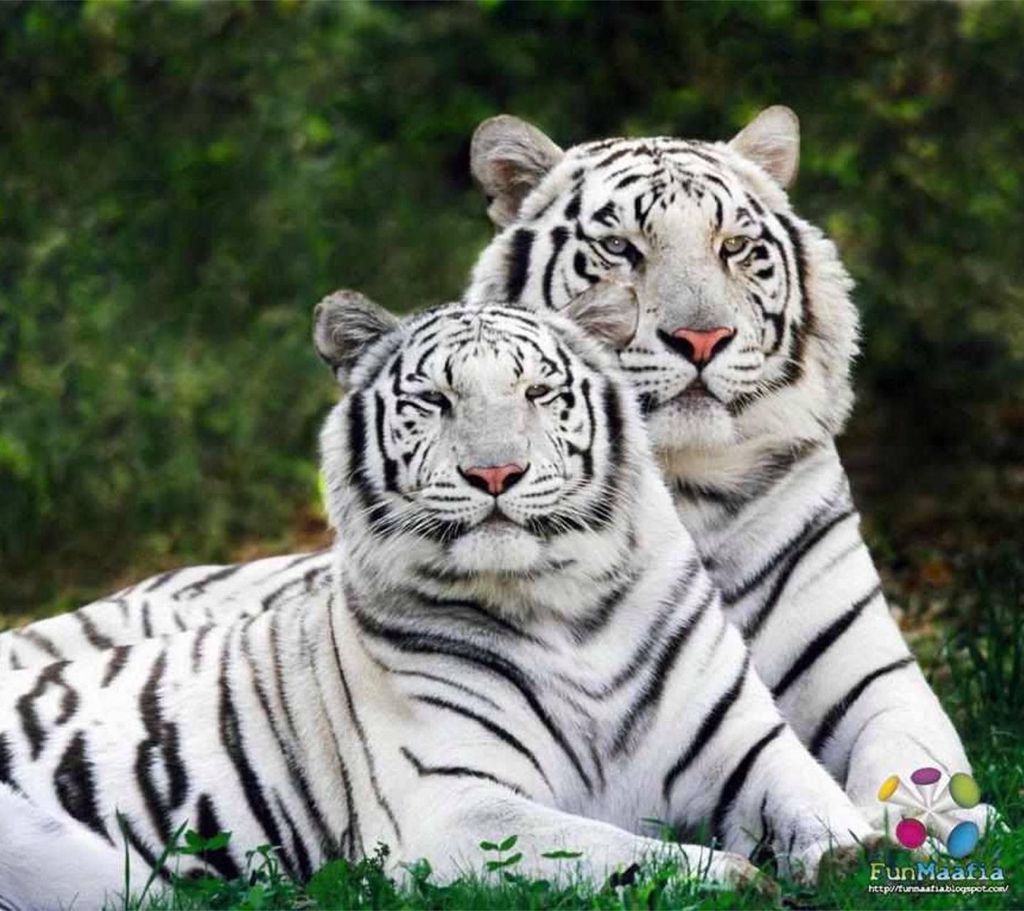 White Tiger Pair