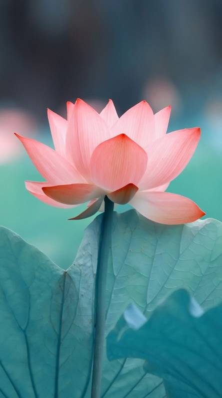 Lotus Wallpapers Free By Zedge
