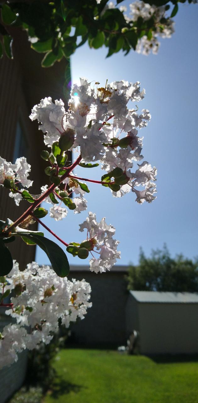 White morning buds