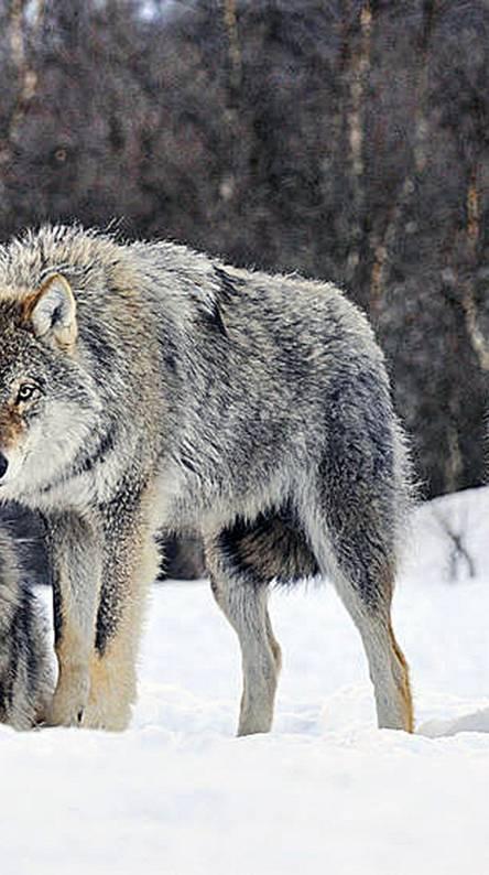 Winter Wolfs