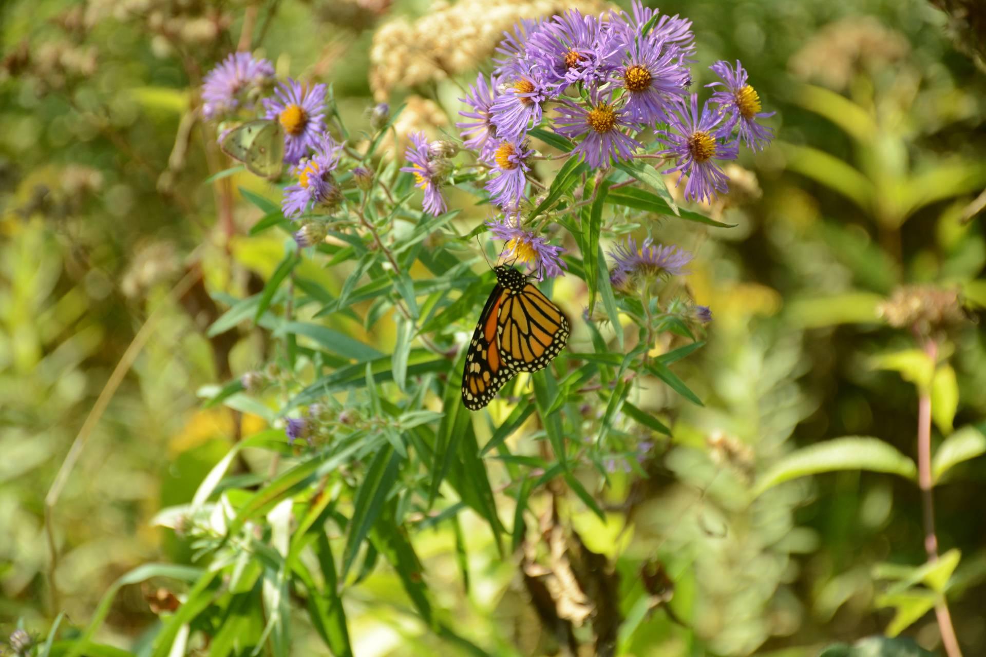 Butterfly sun