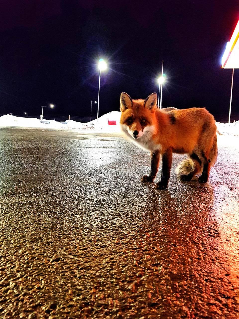 Foxy fox 2