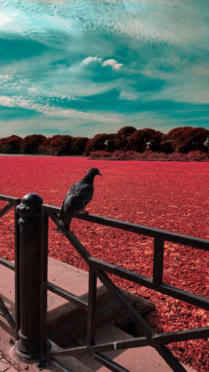 Solitary Dove