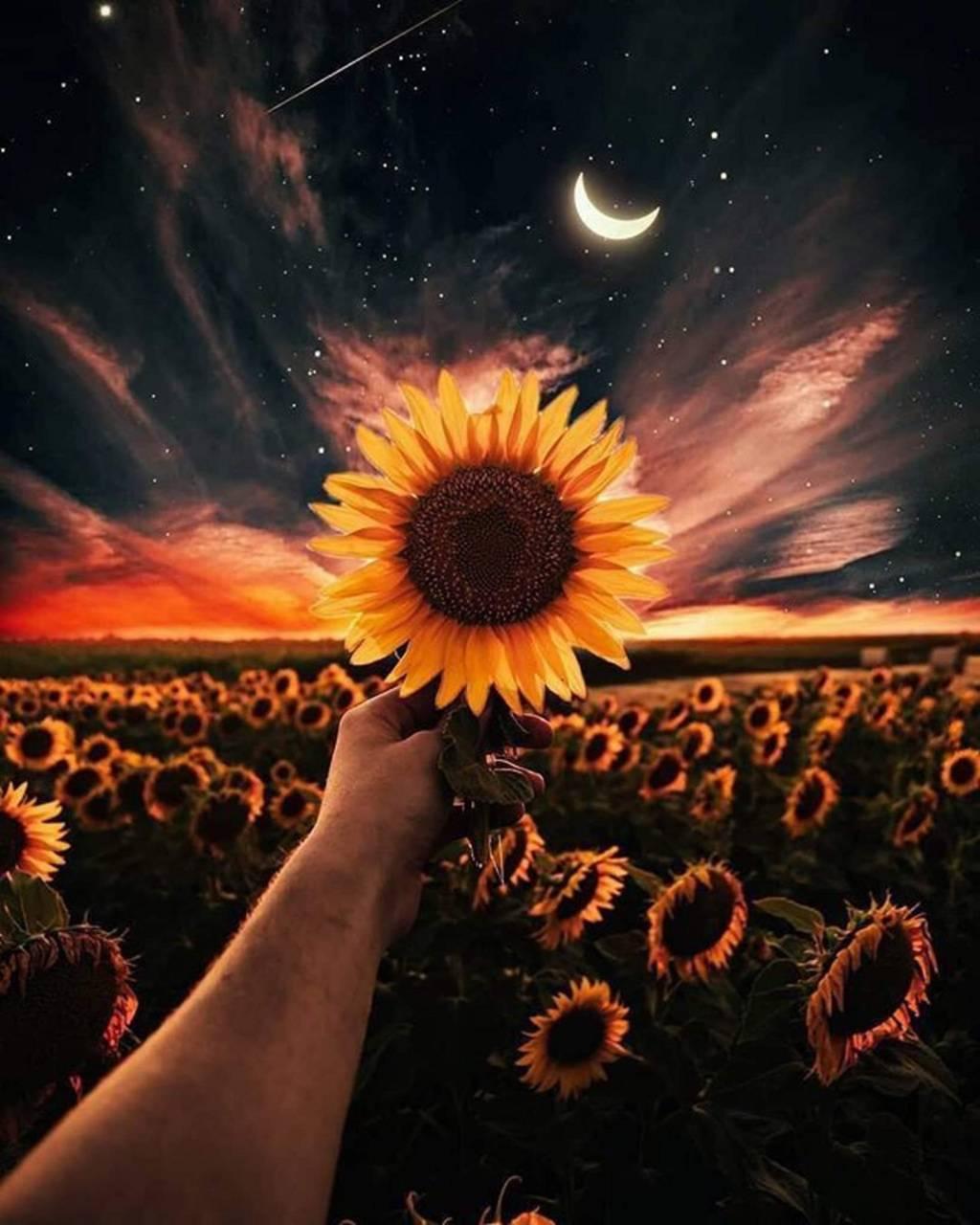 Sunflower wallpaper by geranium19977001 - d3 - Free on ZEDGE™