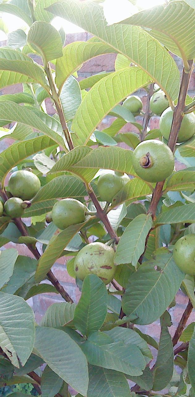 Guava-fruit