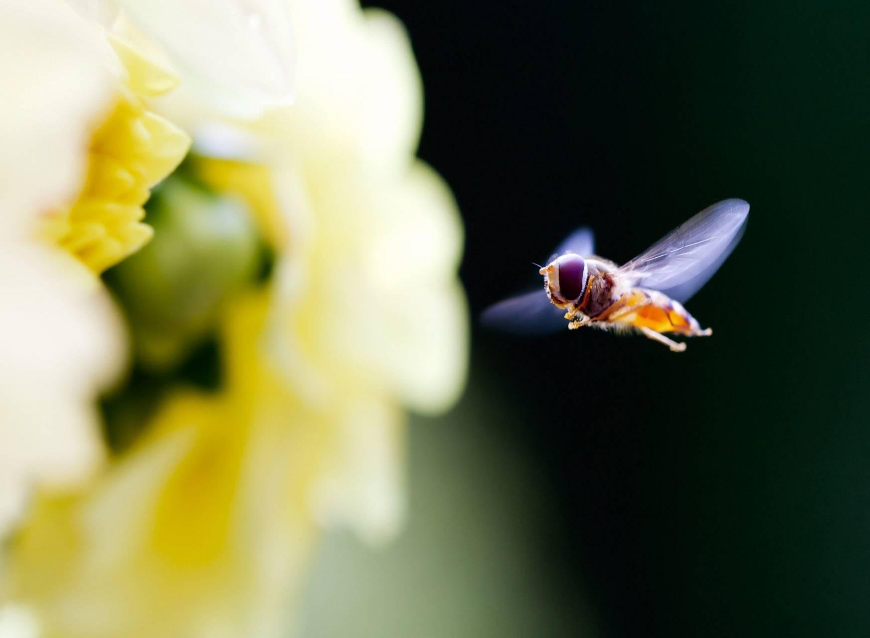 Bee Hd