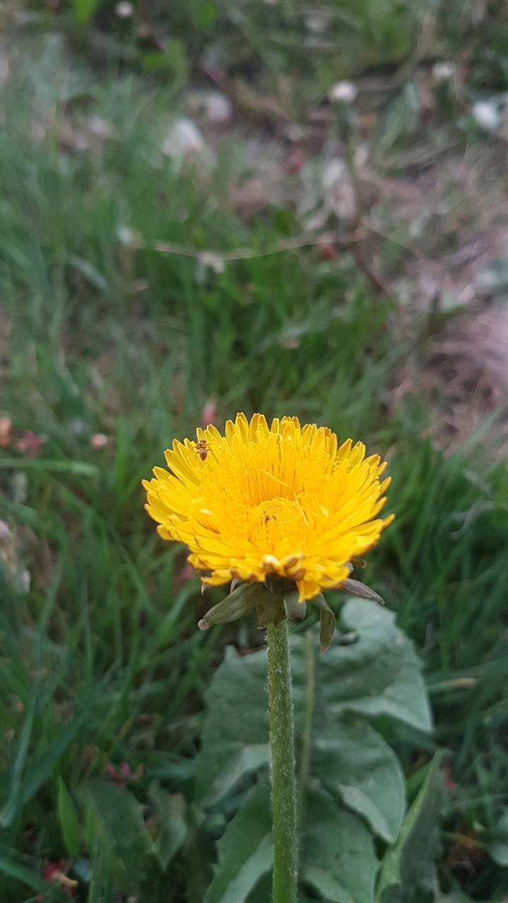 dandelion 5may16