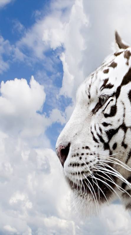 3d White Tiger Wallpapers Free By Zedge