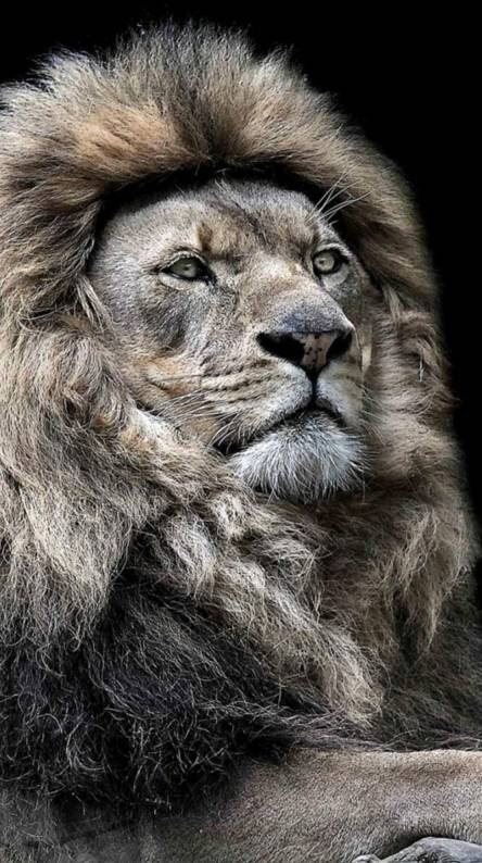 Majestic Lion Wallpapers Free By Zedge