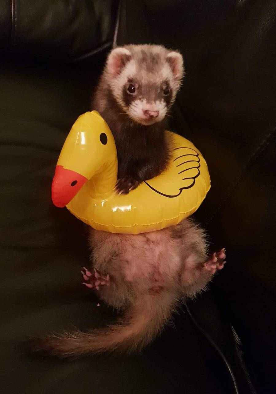 Ferret rubber duck
