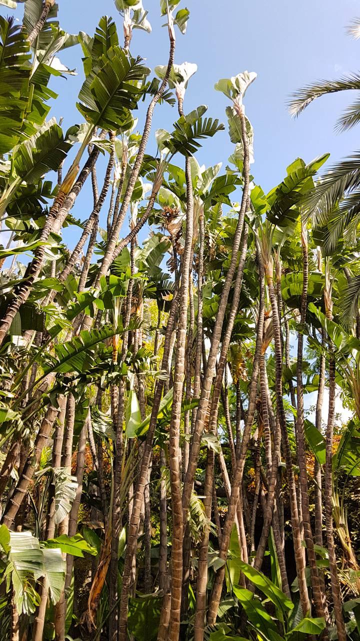 Palms hedge