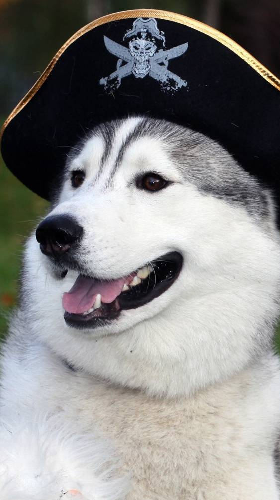 Husky Pirate