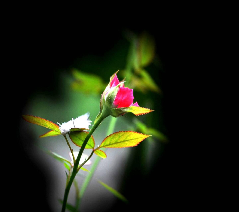 rose -----------