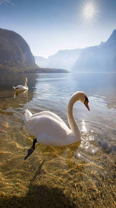 swan wallpapers free by zedge
