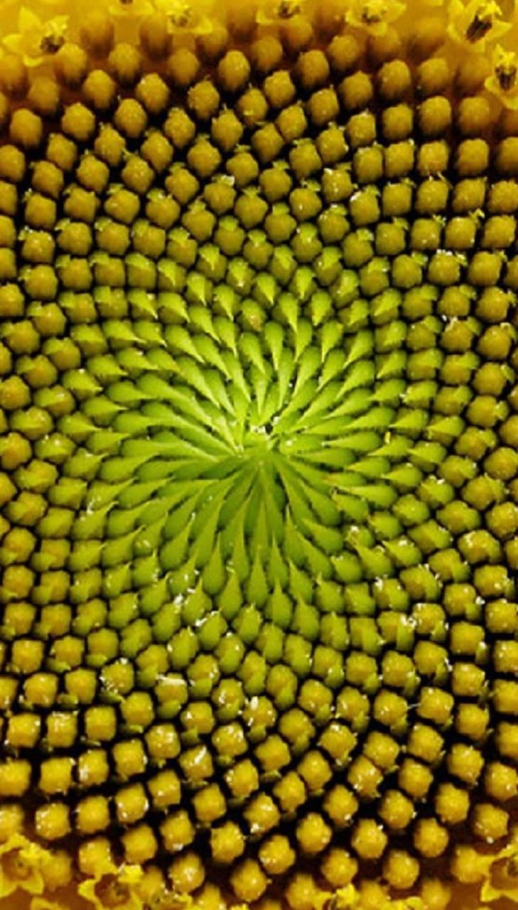 sunflowers sun