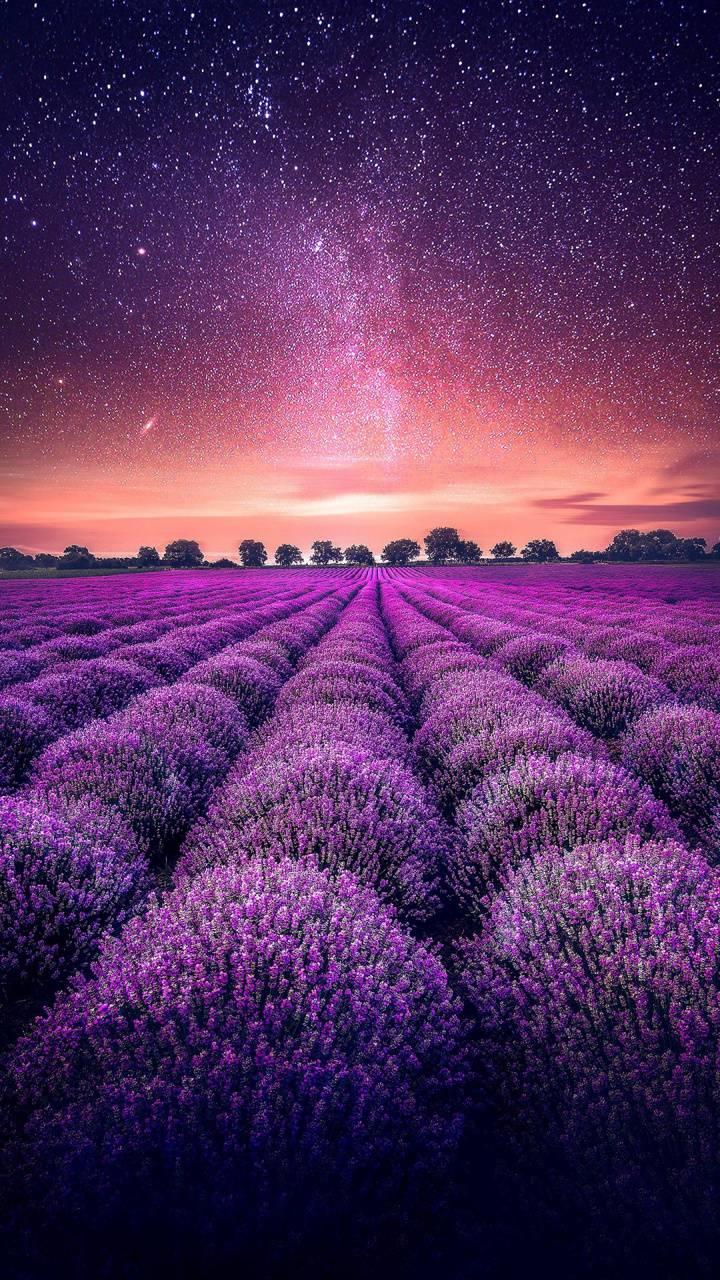 Starry Sky Lavender