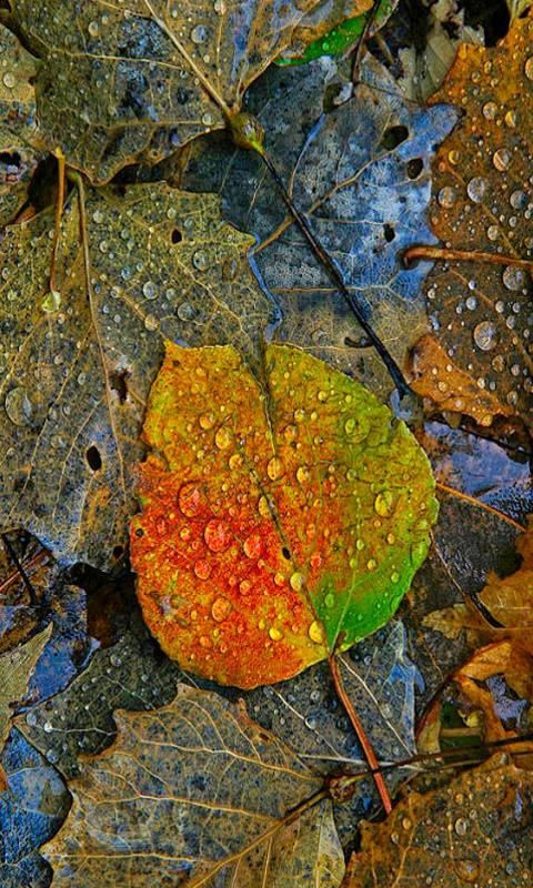Leaves And Drops