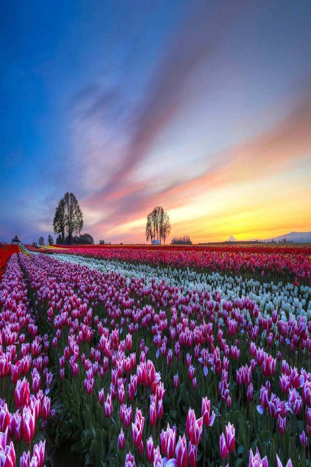 Tulips flower field