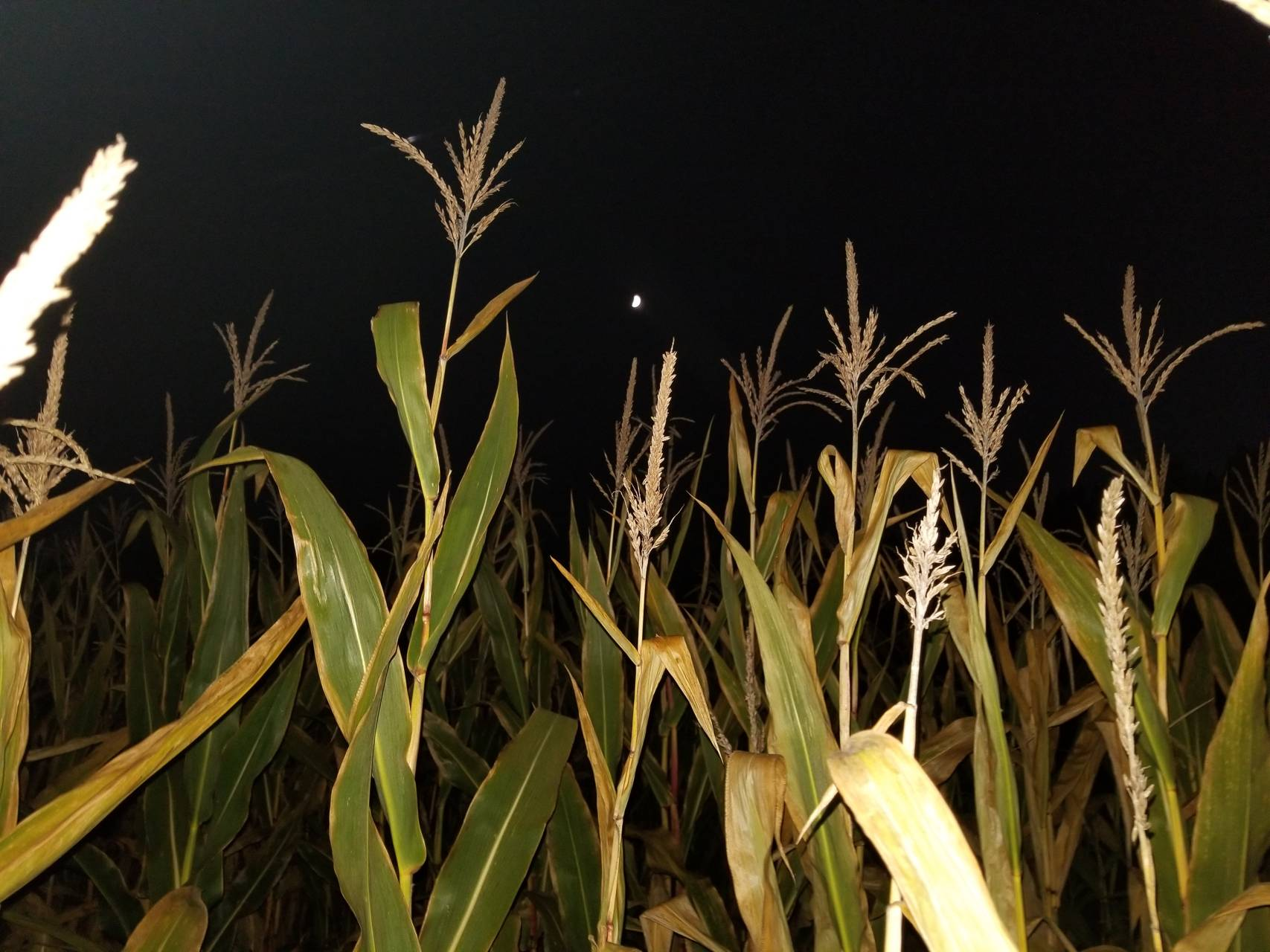 Night corn