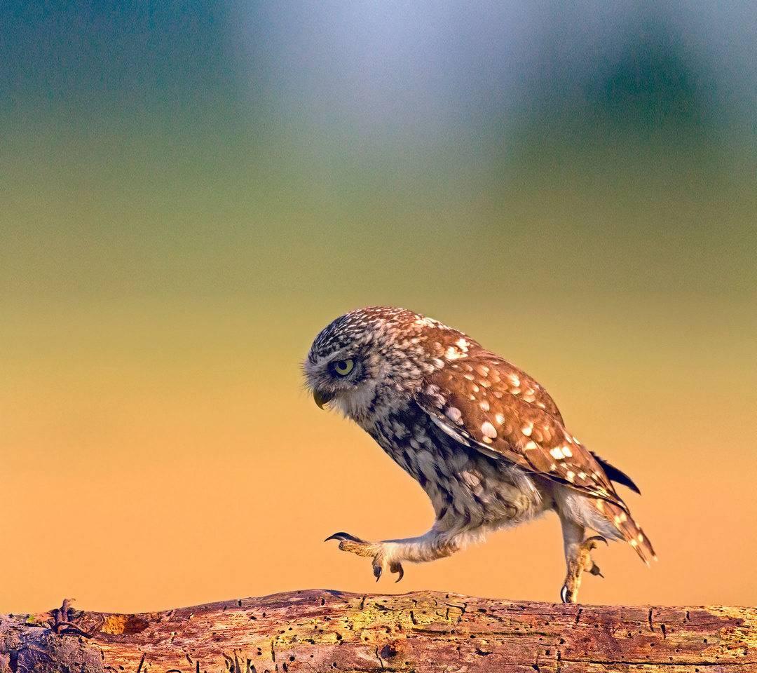 Owl Walk