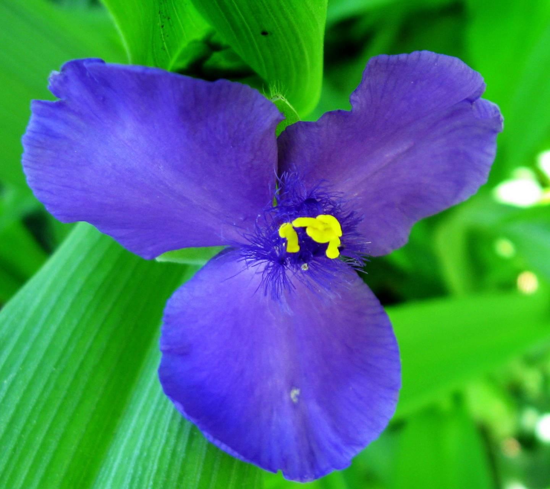 Tradescantia Flower