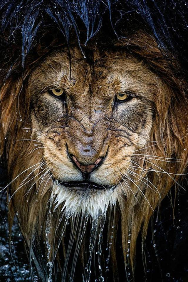 Wet Lion Wallpaper By Mtrywolf 3e Free On Zedge