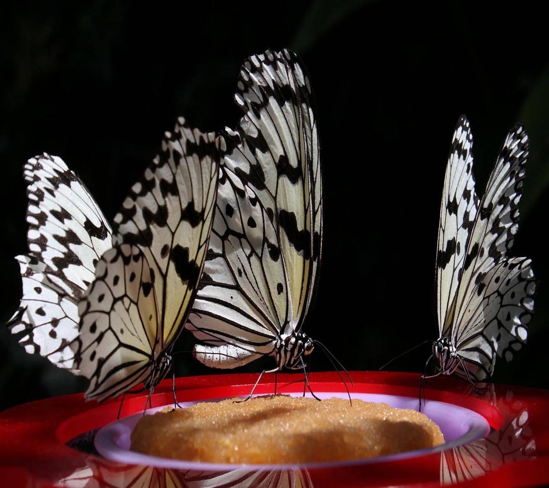 Macro Butterflies