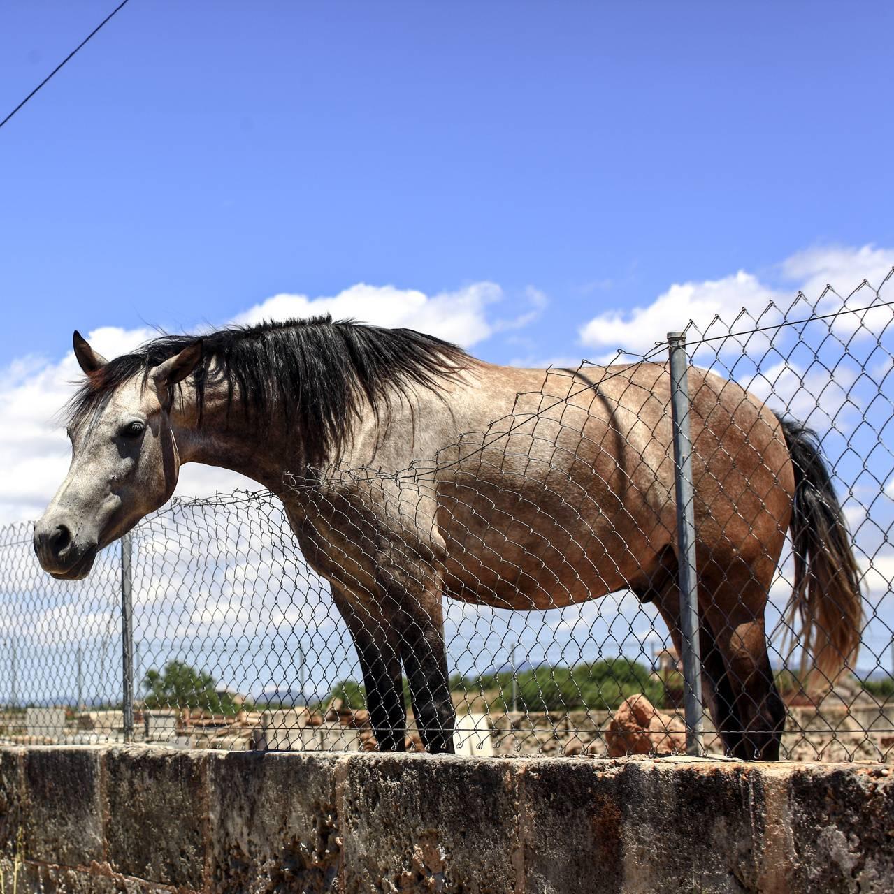 Mallorca Horse