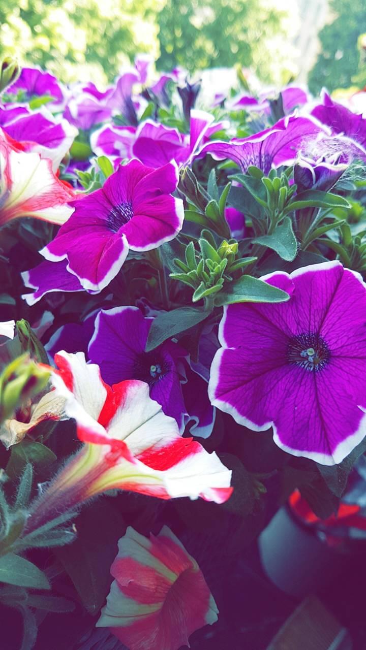 Summerflowers HD