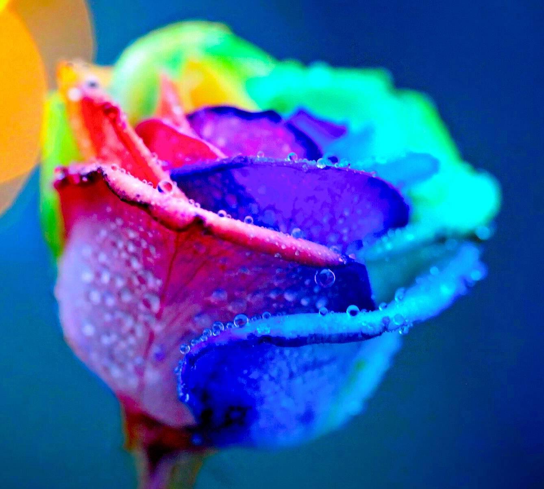 Coloful Rose