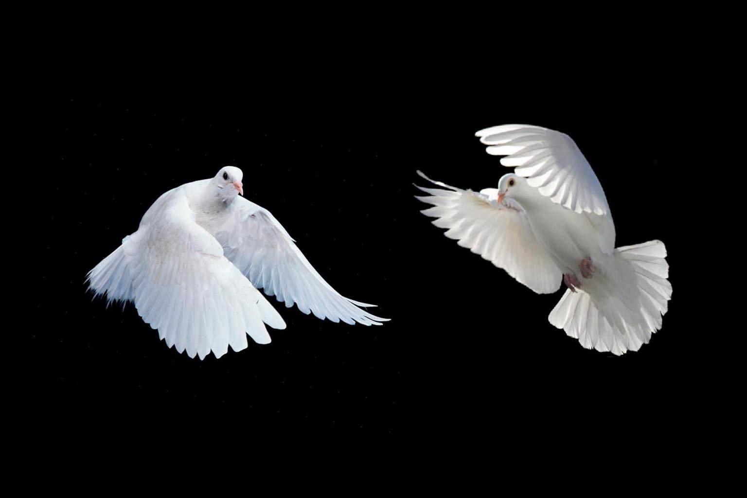 White pigeon love