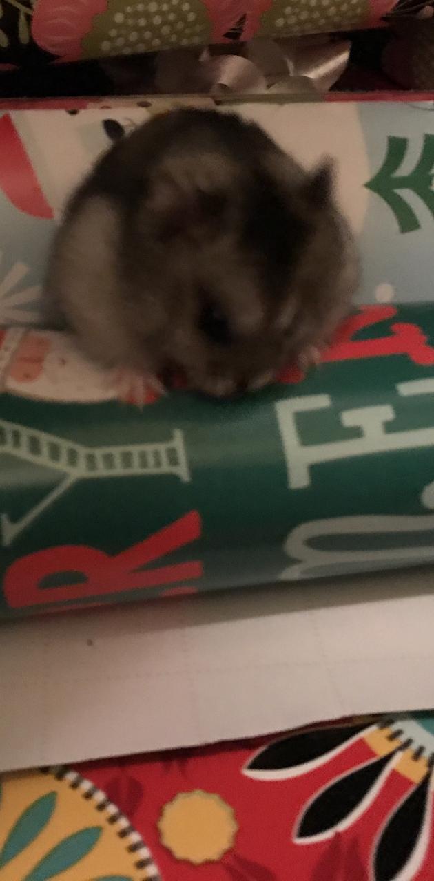Hamster Christmas
