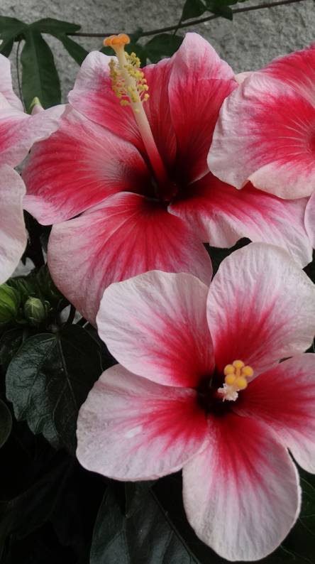 Hibiscus flowers Wallpapers - Free by ZEDGE™