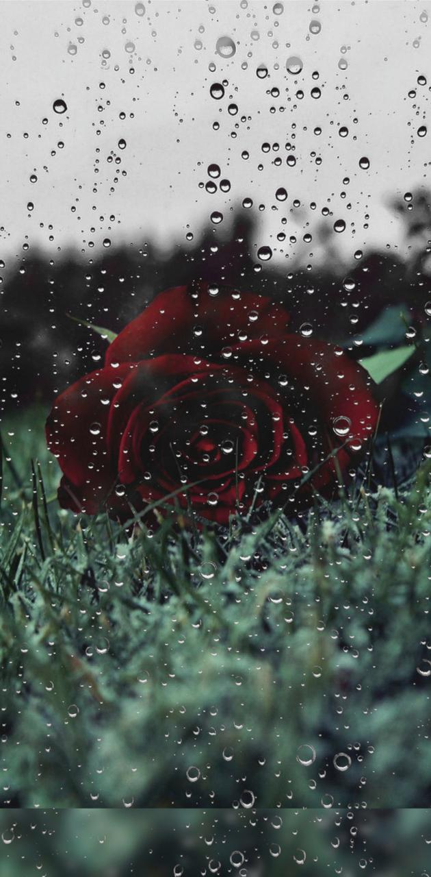 Rose and Water