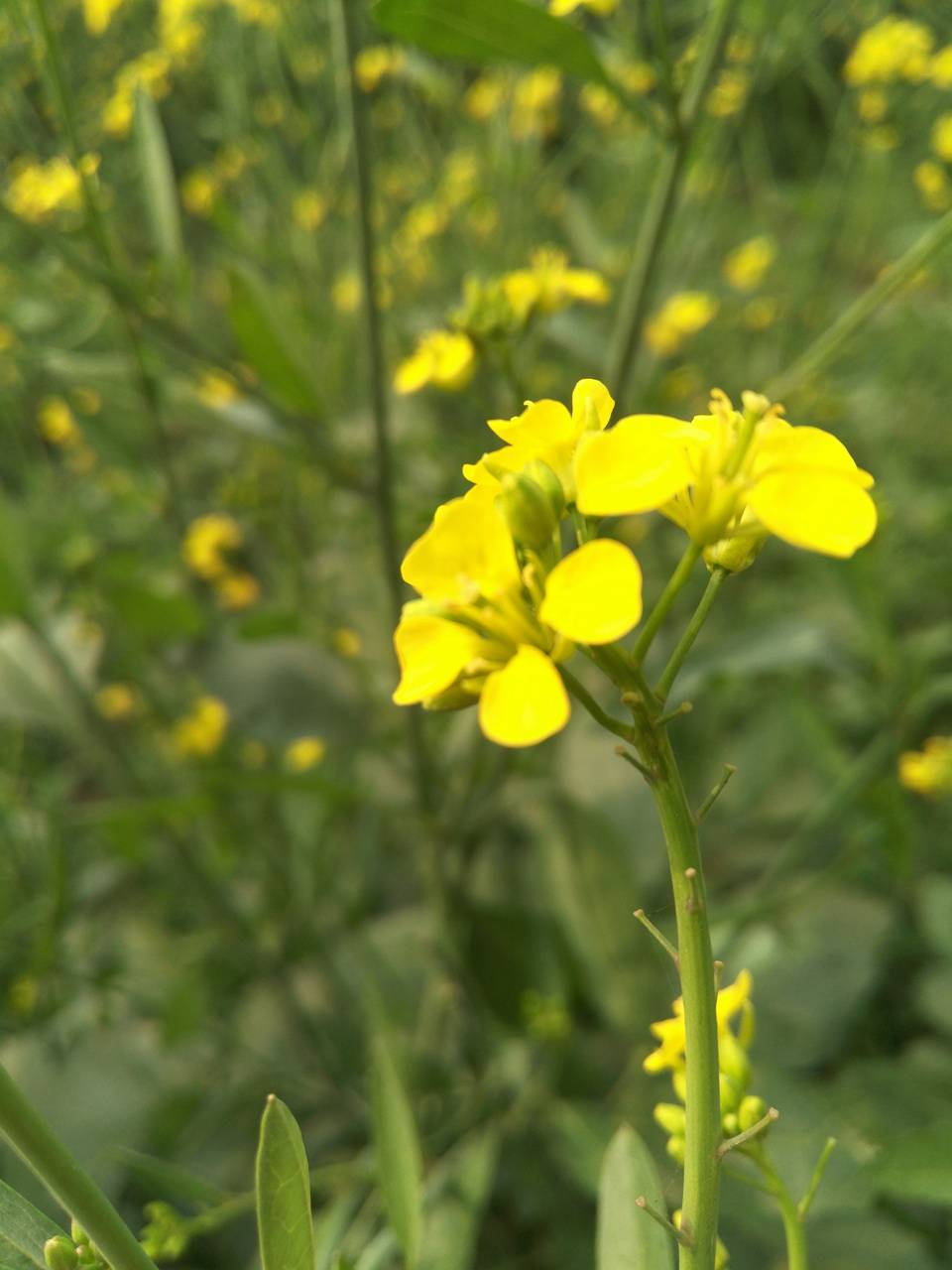 Mustard flower 2