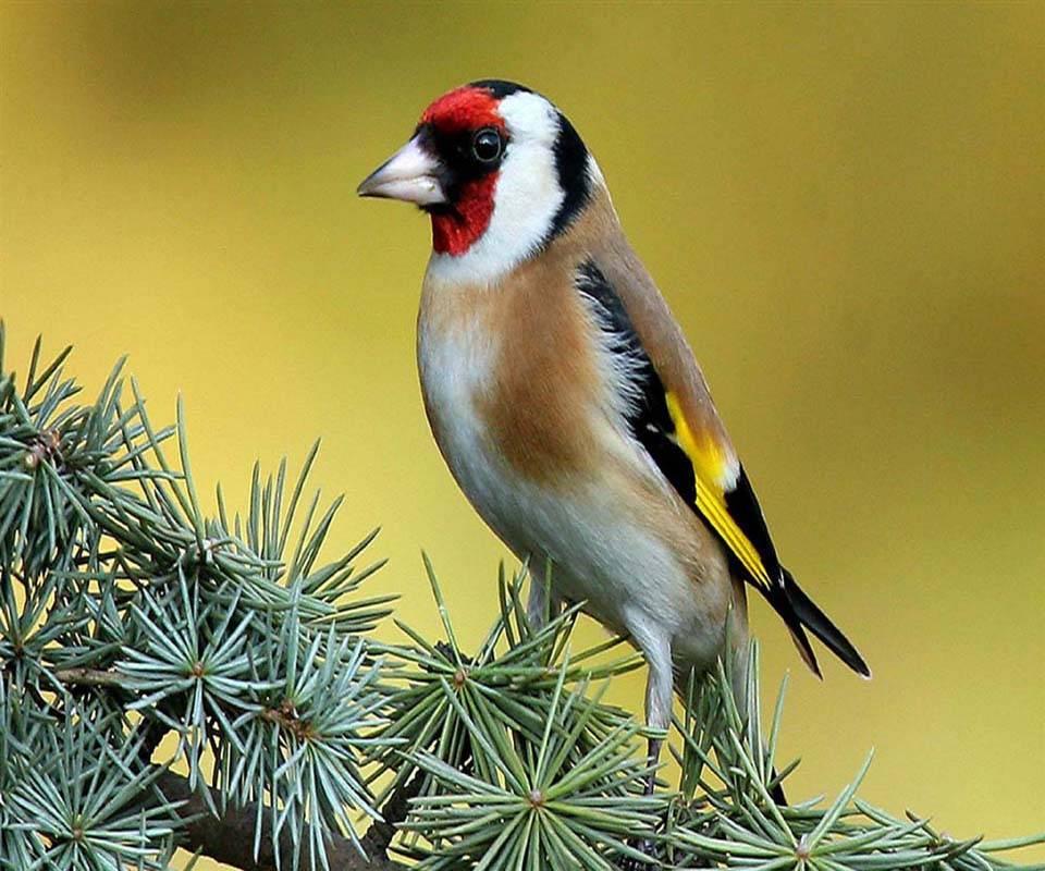 Bird on pine tree